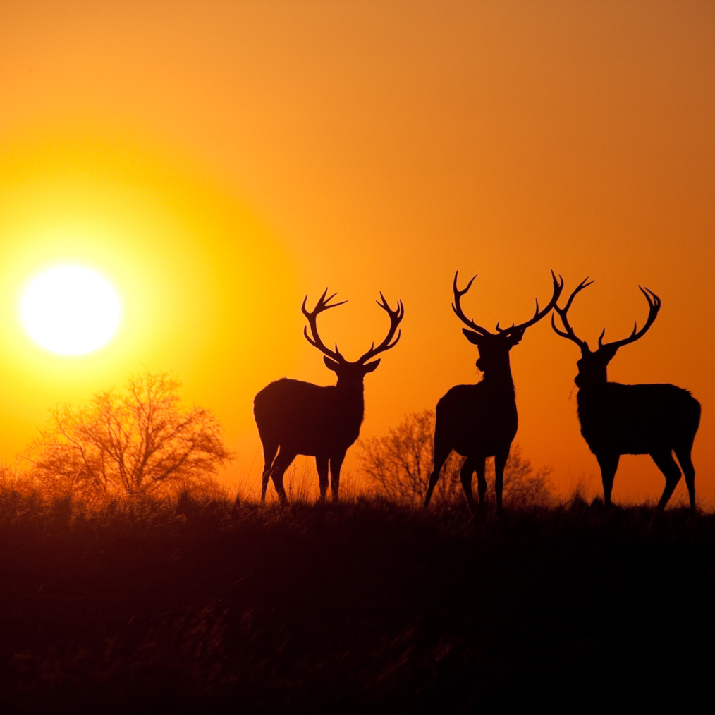 Deer at Sunset 2.jpg