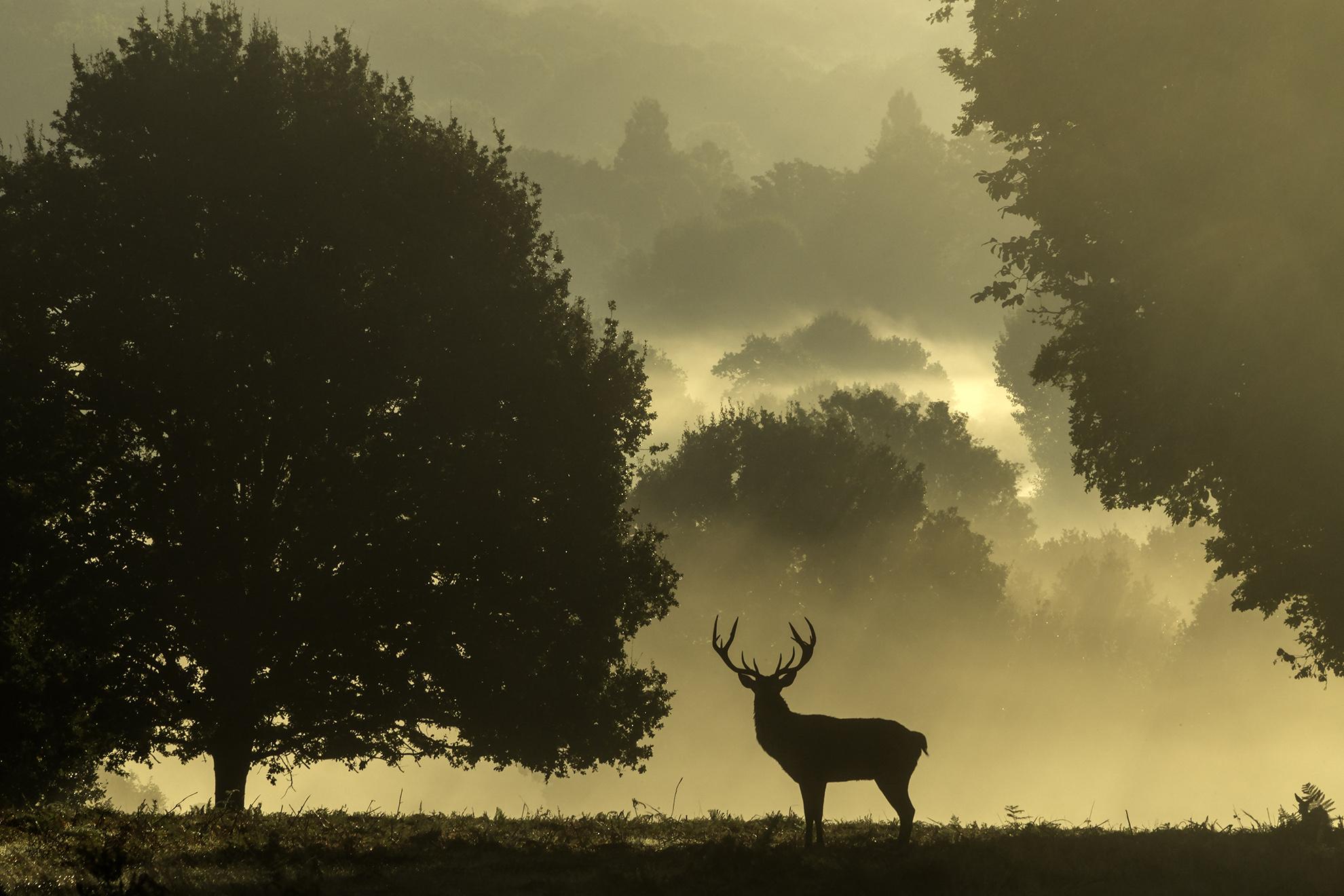The king of beasts - Richmond Park - Andrew Wilson.jpg