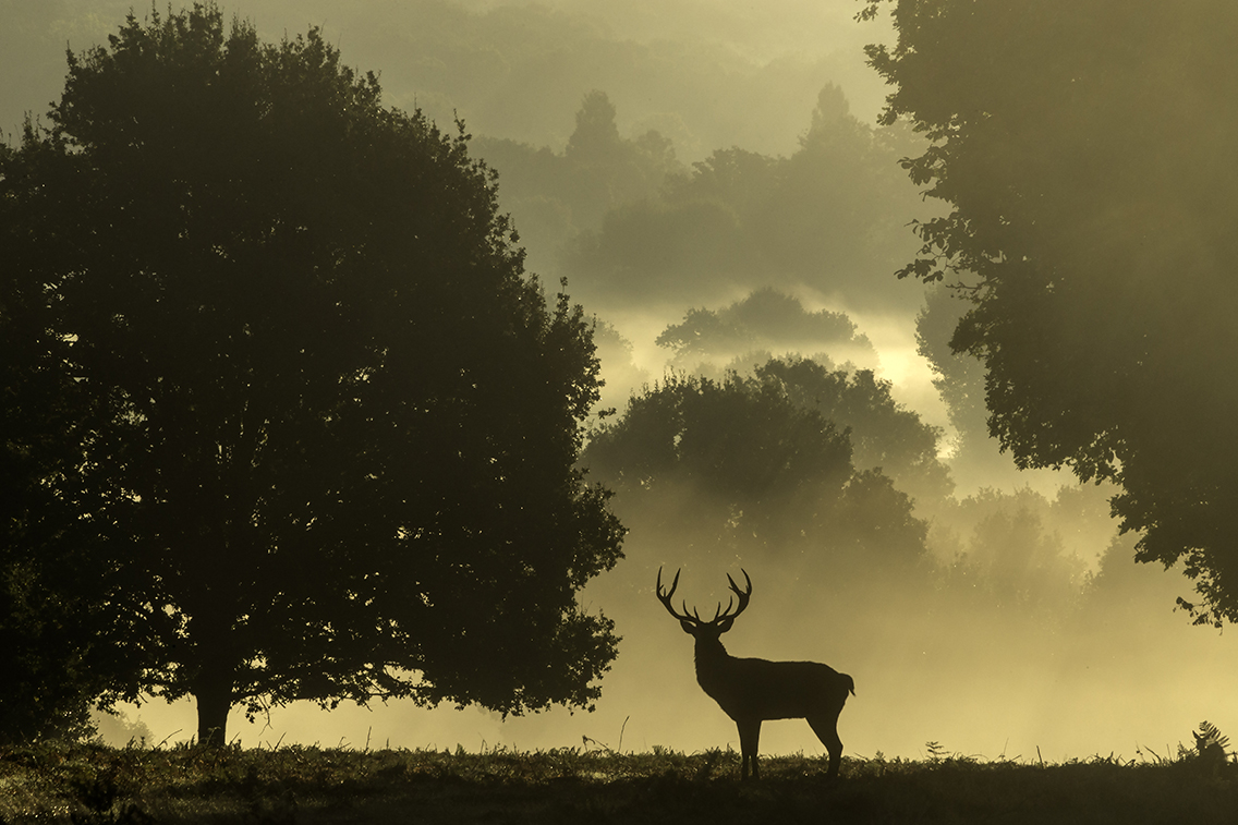 A majestic Stag in Richmond Park.jpg