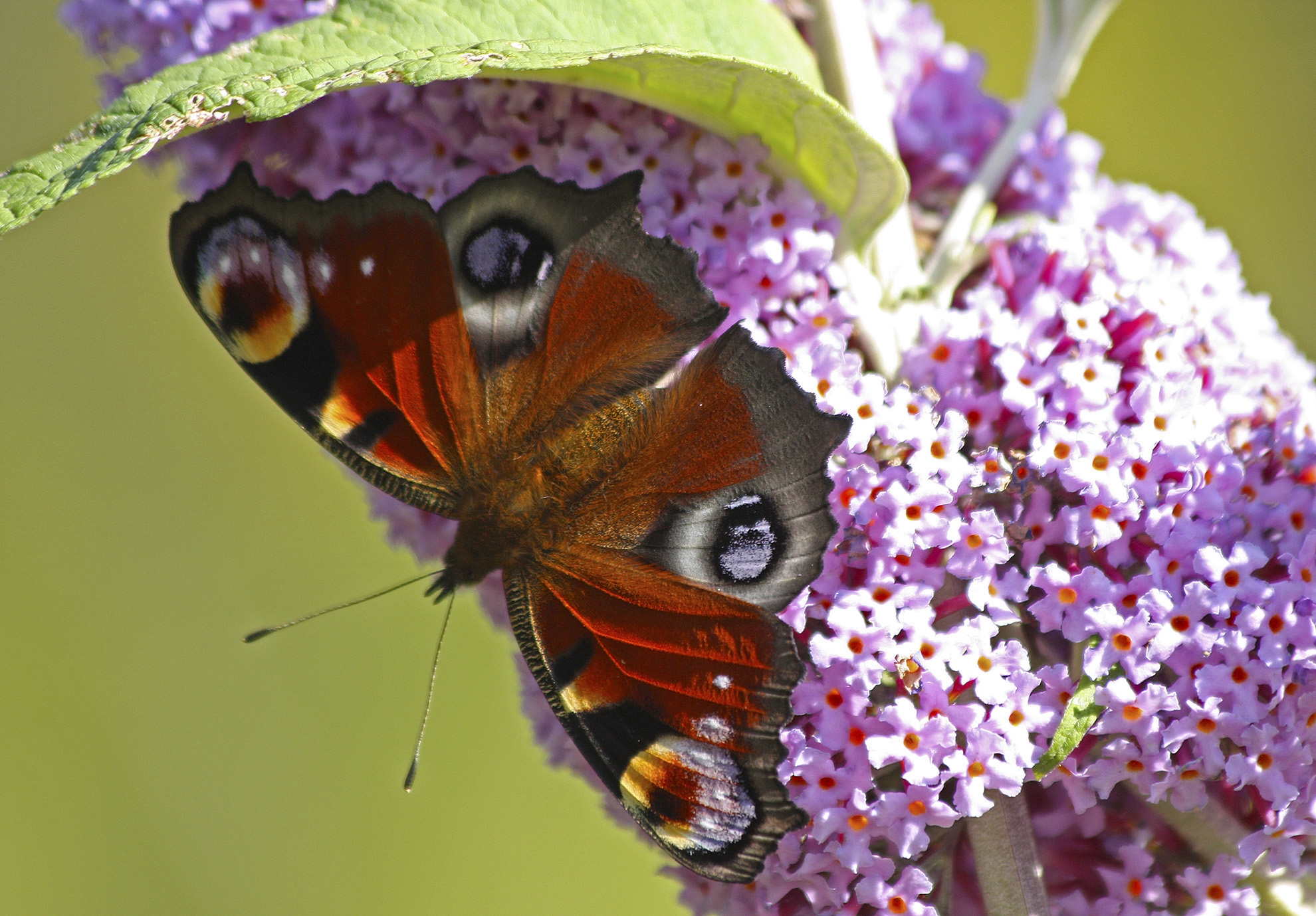 A beautiful Peacock Butterfly, Barnes Common WR.jpg