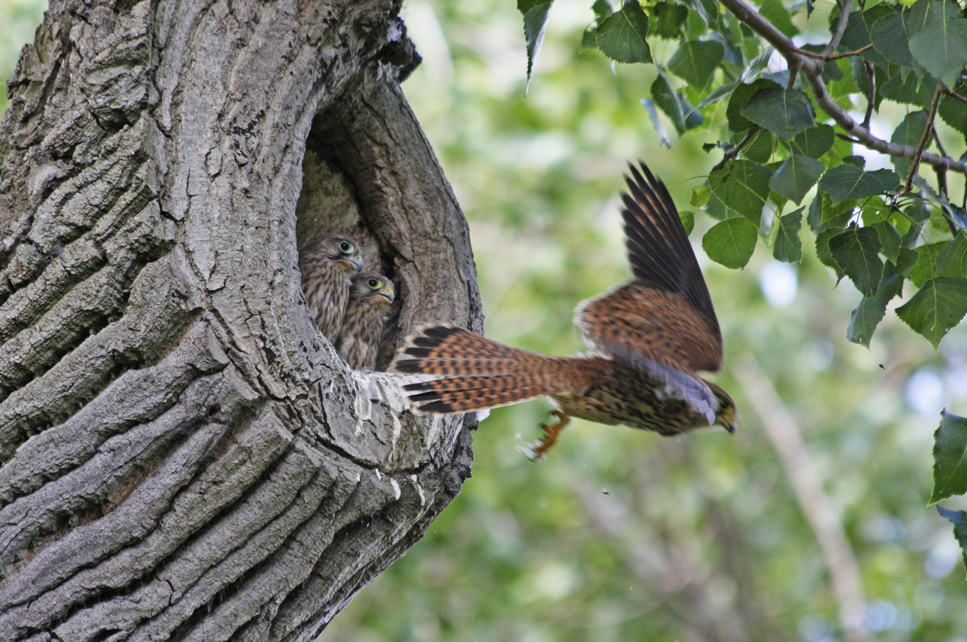 Kestrels nesting on Putney Common WR.jpg