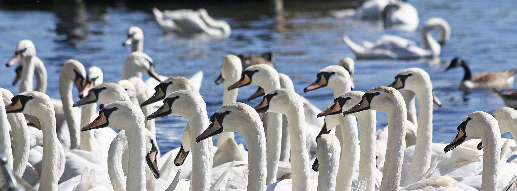 Swans in Kingston.jpg