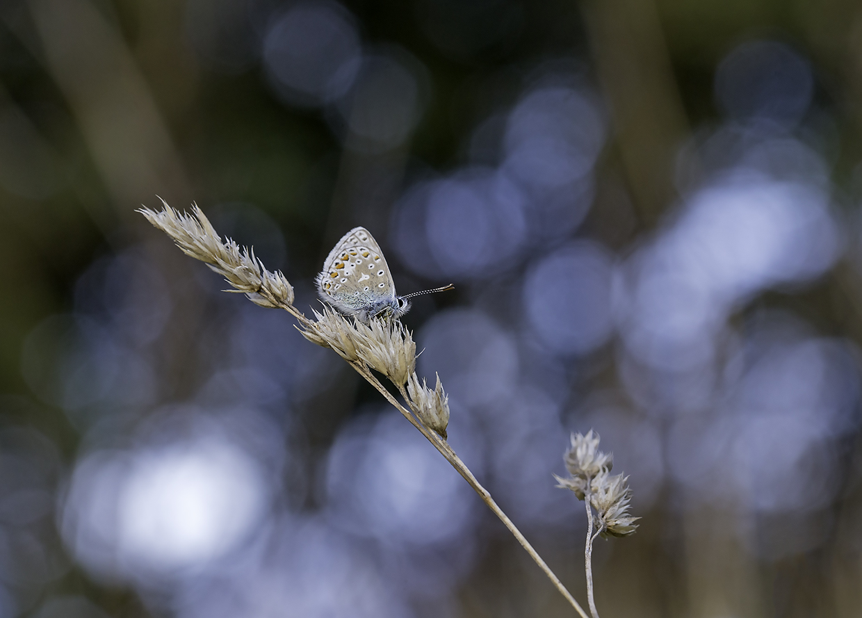 Common Blue on the Common October 12 A6.jpg
