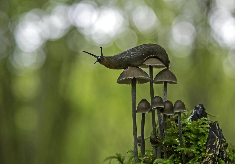 Fungi climbing slug in the woods of Langley Vale, Surrey