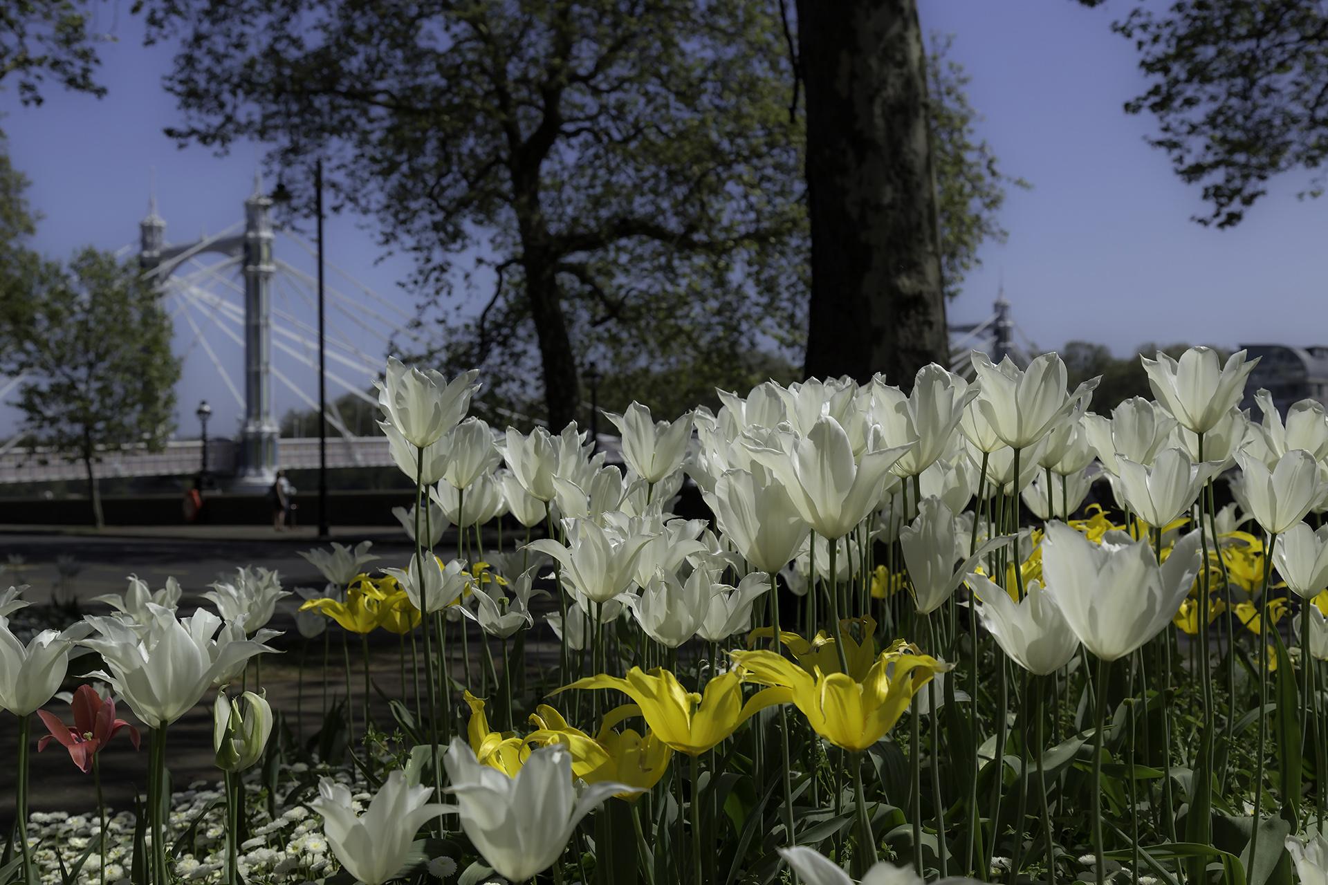 Chelsea Embankment Gardens May 6 WR.jpg