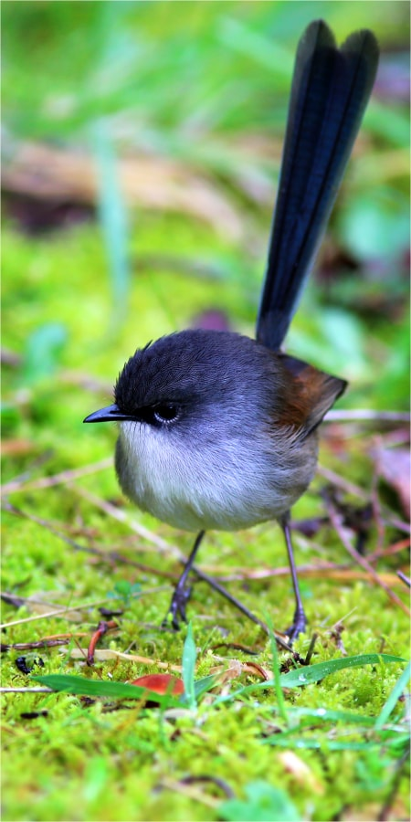 Female Red-Winged Fairywren portrait