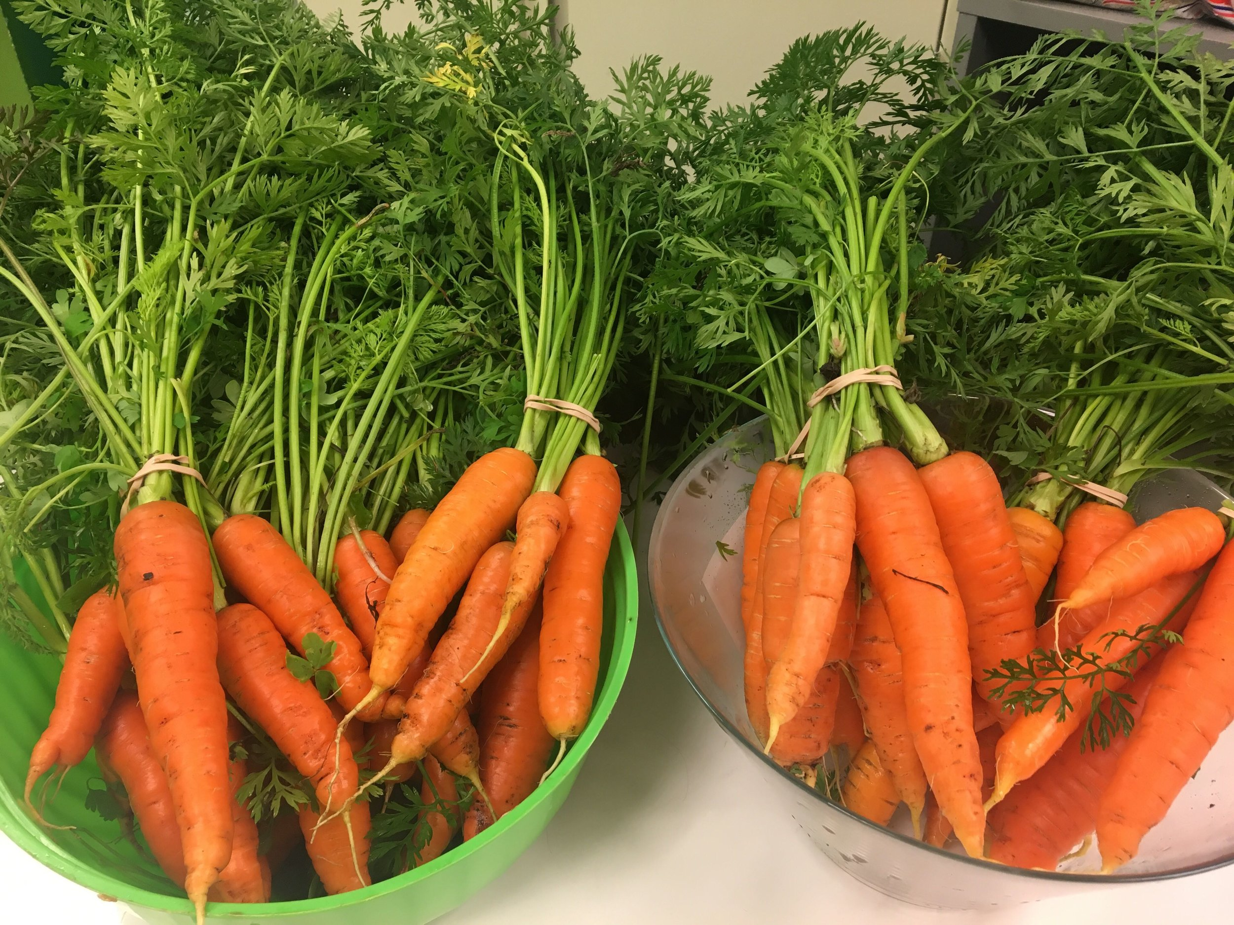 Fresh carrots from the RYSE garden!