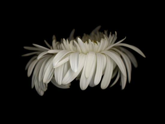 The White Gerbera. Photo by Doris Mitsch.