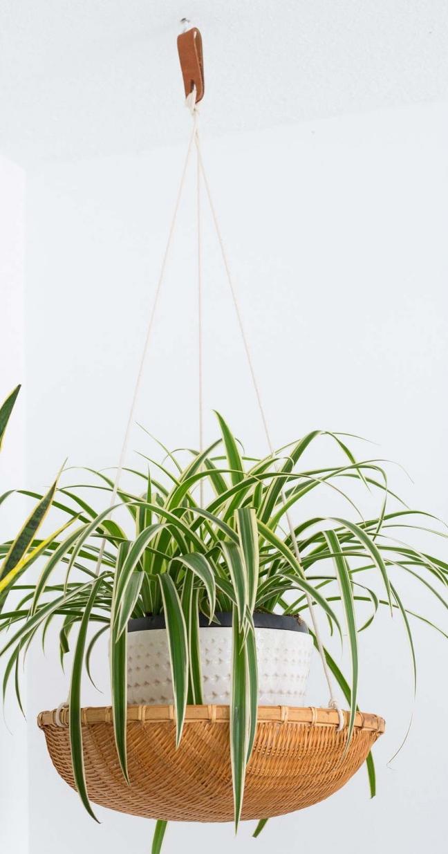 spiderplant-planten-in-de-slaapkamer-plantenhanger 2.jpg