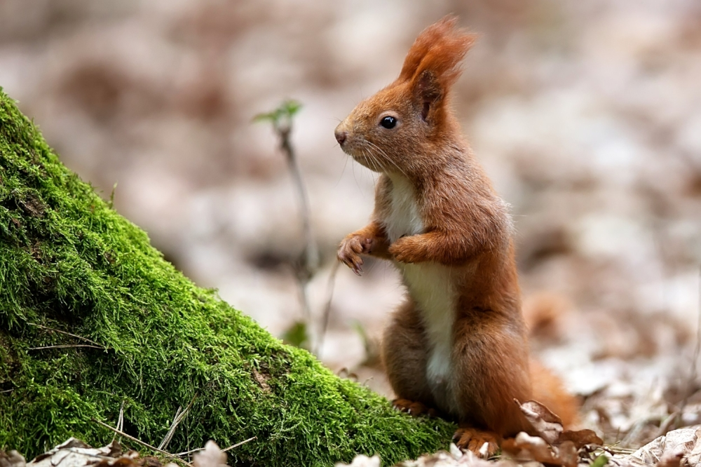 red-squirrel-in-the-forest-PLED9AP.jpg