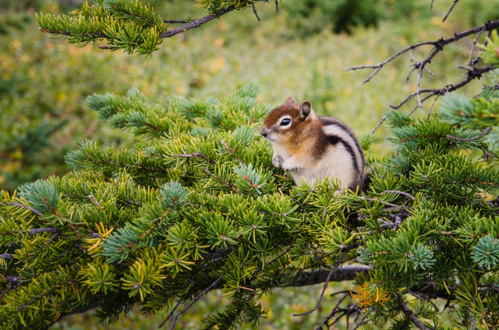 small-chipmunk-sitting-on-a-green-tree-P38W6VX.jpg