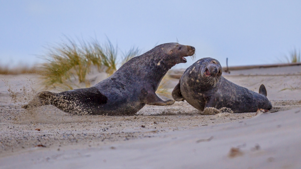 A pair of grey seal males fighting on the beach, despite the fact that they are the same species and should be working together toward a shared purpose.