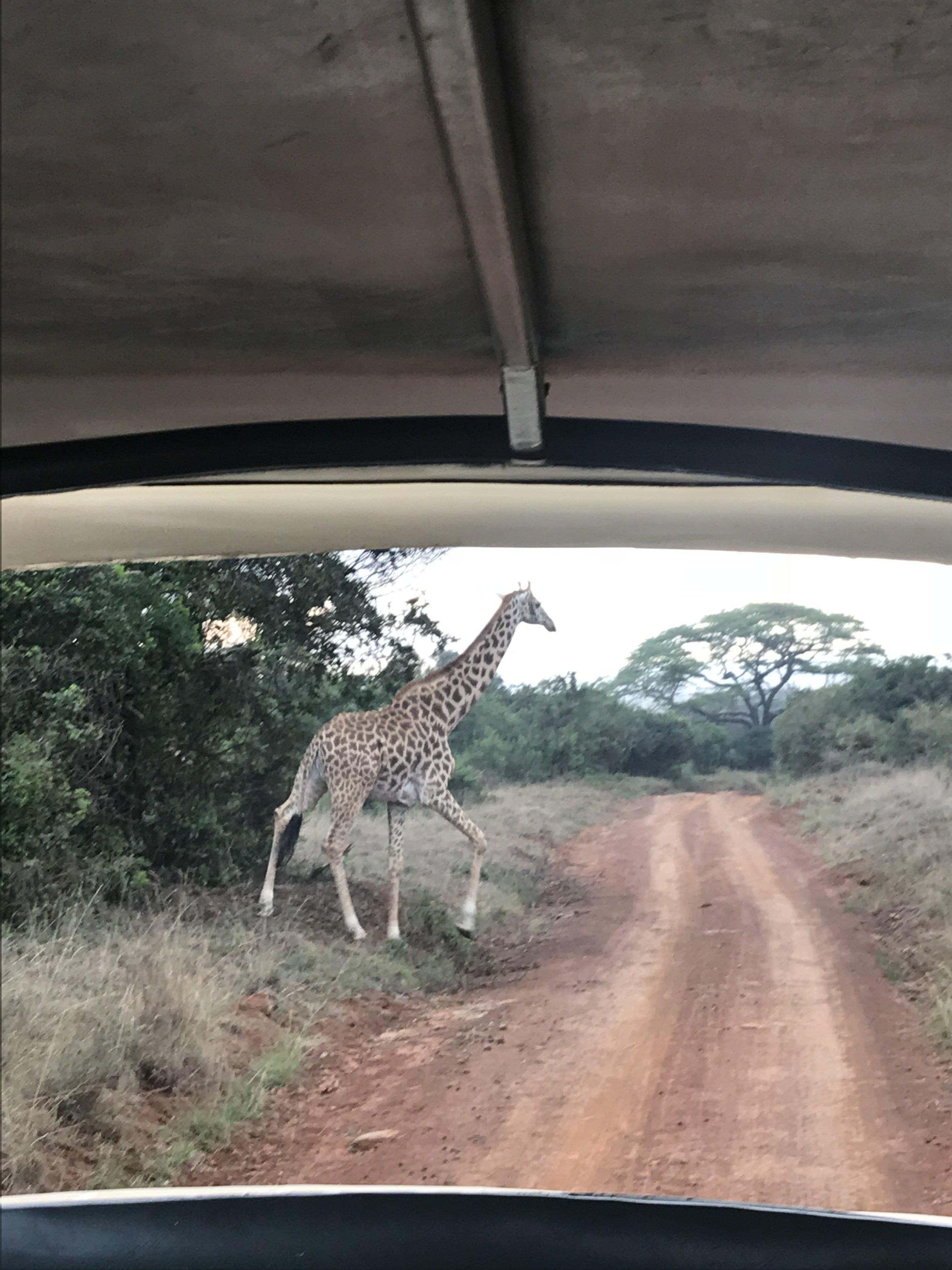 No big deal, just a giraffe crossing the road.