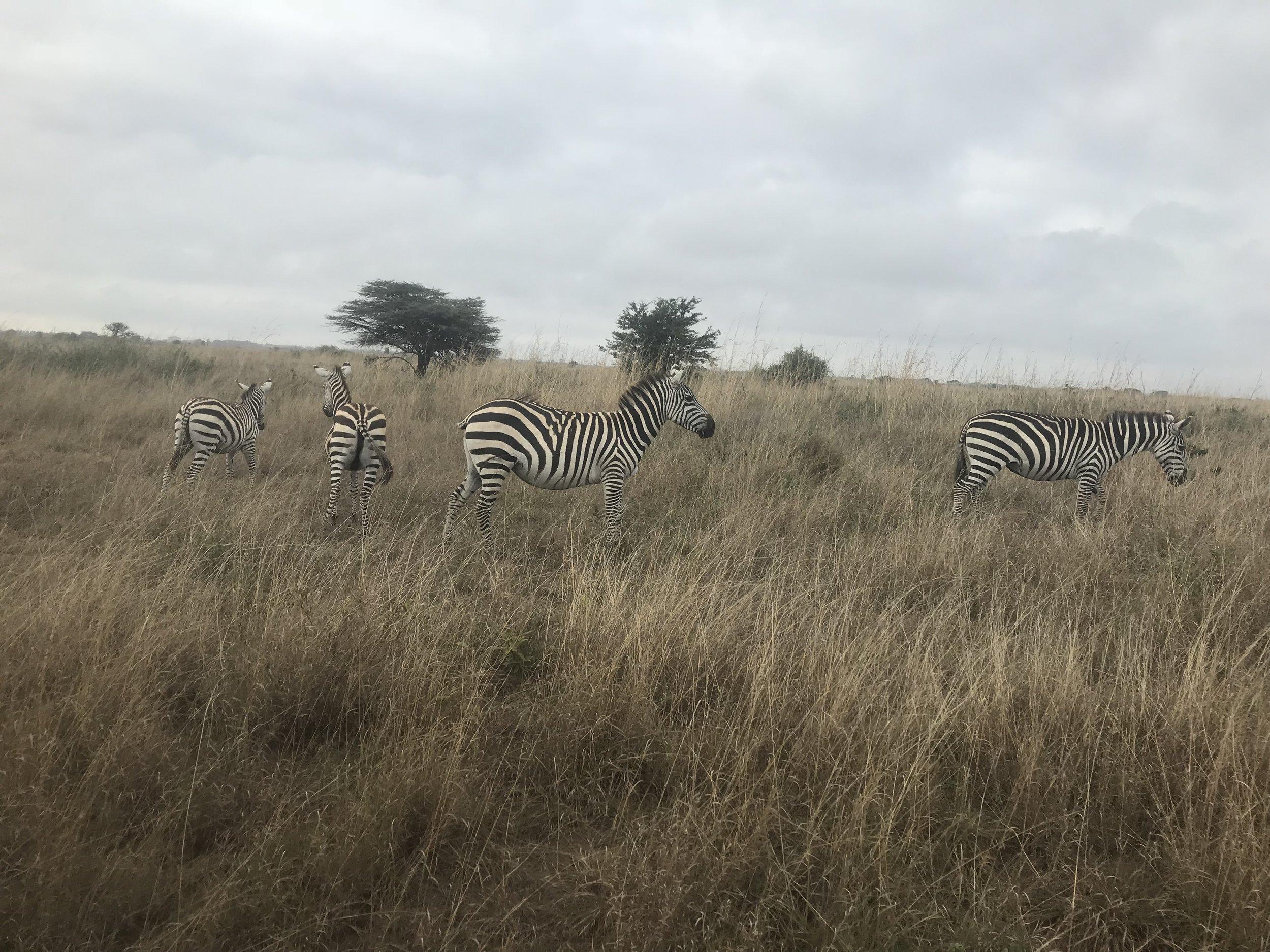 We saw a lot of zebras!