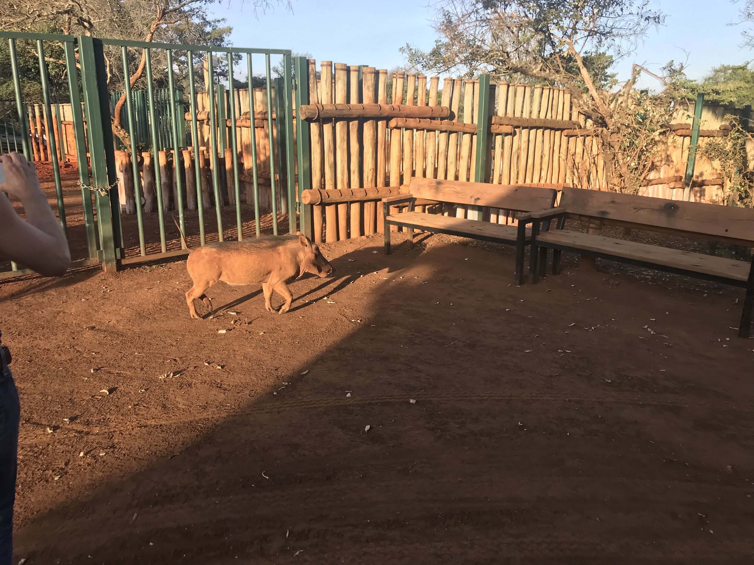 There were warthogs wandering the property as well, and they left us alone for the most part. For some reason I was expecting them to be aggressive like wild hogs that I know live in the US but they were not.