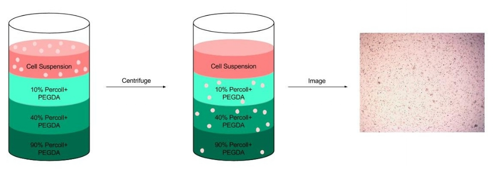Figure 5: A centrifugation test was completed with varying concentrations of Percoll. A gradient ranging from 10 -90% percoll was created in a 15 ml conical tube and a cellular suspension was added on top of the gradient. The tube was then centrifuged and brightfield images were taken of each gradient.