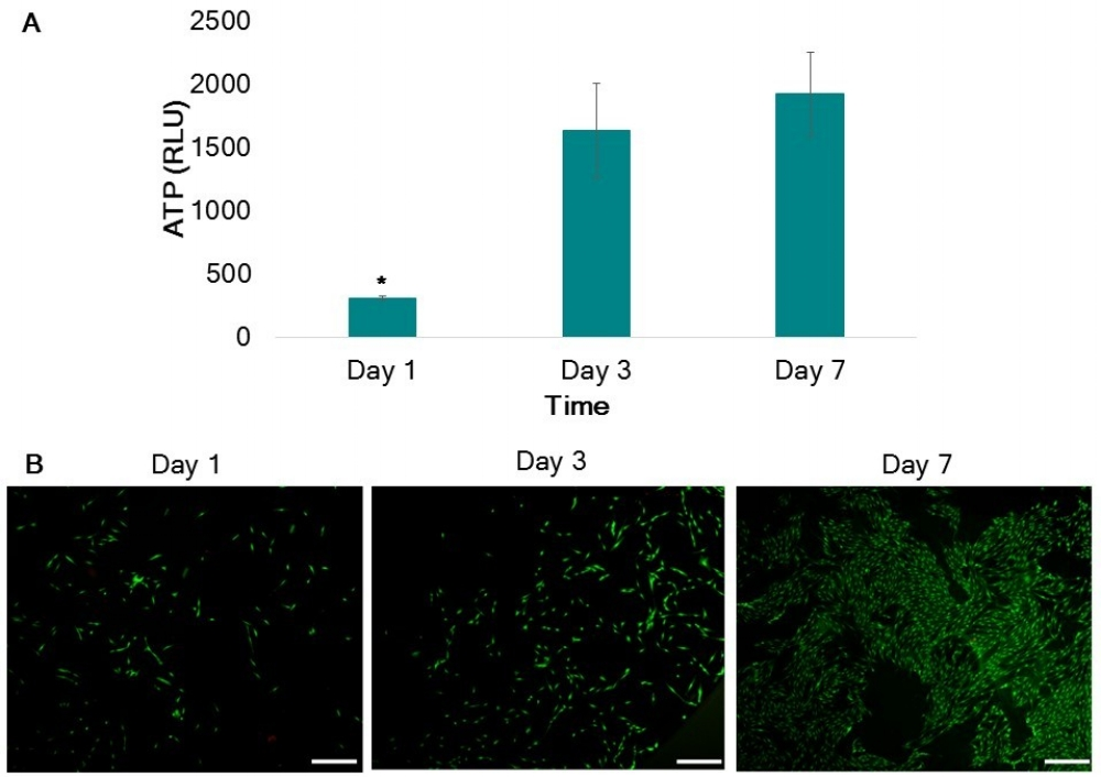 Figure 1: ATP results (A) demonstrate that PLGA is able to support viable cell cultures. (*) indicates statistical difference. LIVE/DEAD images (B) also confirm viable cell cultures seeded on PLGA at days 1,3 and 7.
