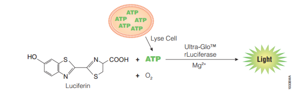 "Figure 3: Luciferin in the ATP assay. The homogeneous ""add-mix-measure"" format results in cell lysis and generation of a luminescent signal proportional to the amount of ATP present"
