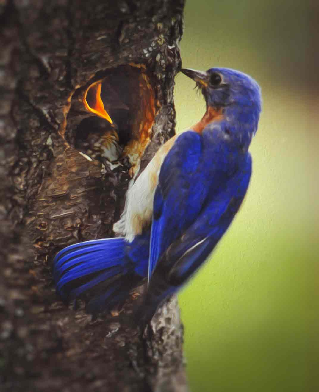 Bluebird With Young