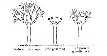 Pollarding:  Similarl is the practice of harvesting the top layer (at least roughly 6' above the ground). The same growth appears as coppicing - strong and narrow saplings -  but instead from the top layer of the tree. Historically cultivated around animals to keep fresh young saplings away from hungry grazers.