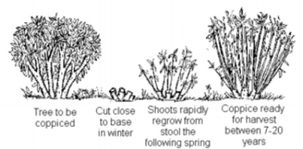 Coppicing :Successful cutting of broadleaf woodland during the dormant winter period, keeping alive the stump or 'stool' and allowing for future growth of fine straight wood. This practice feeds both human and tree while allowing the leaf fall to return the needed-nutrients back the roots. Food, fiber, firewood, and building material are a by-product and value-added yield from this practice.