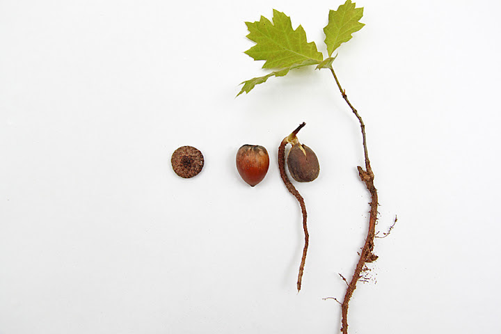 acorn-to-oak.jpg