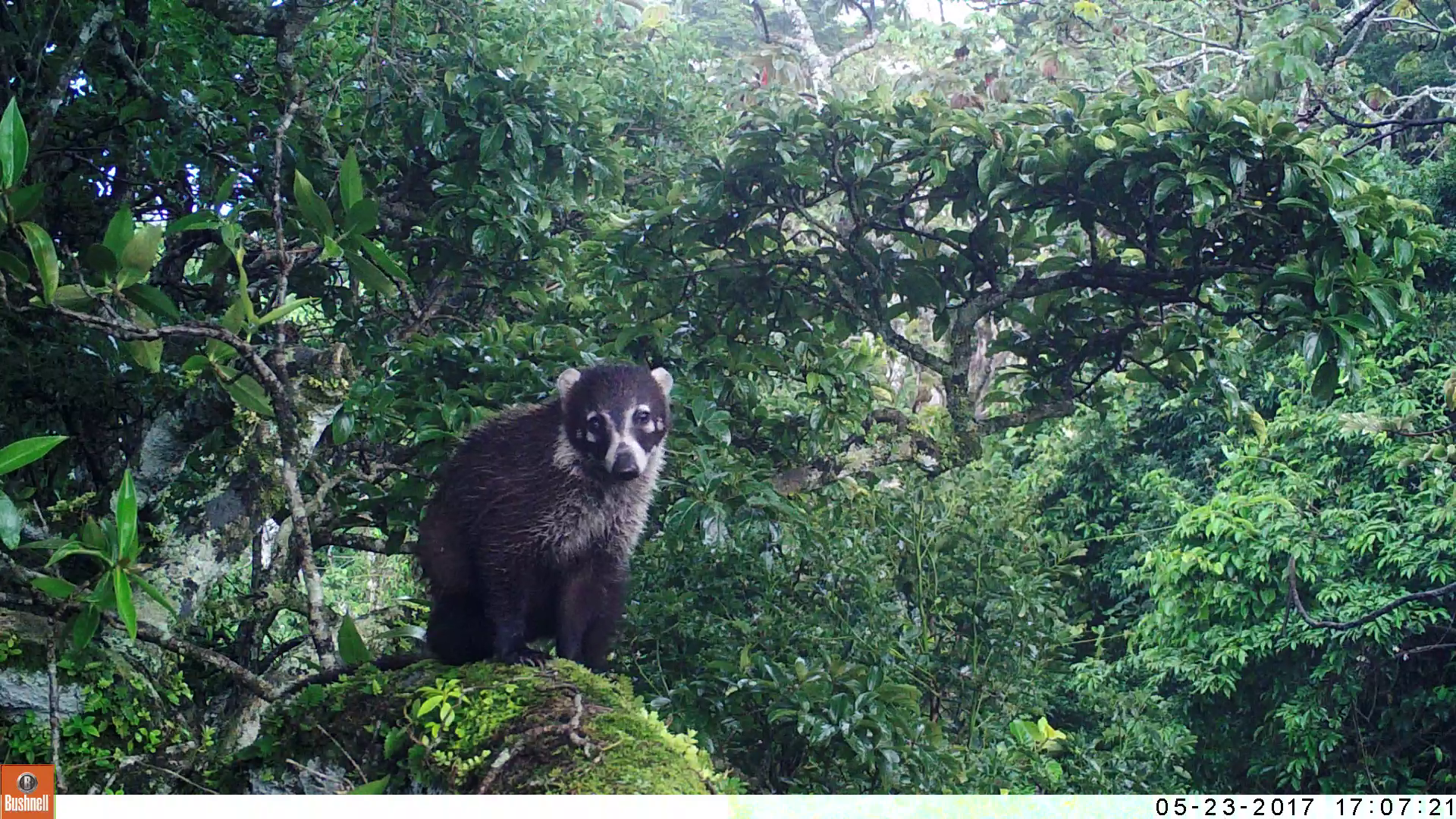 White-Nosed Coati after the rain (16m height)
