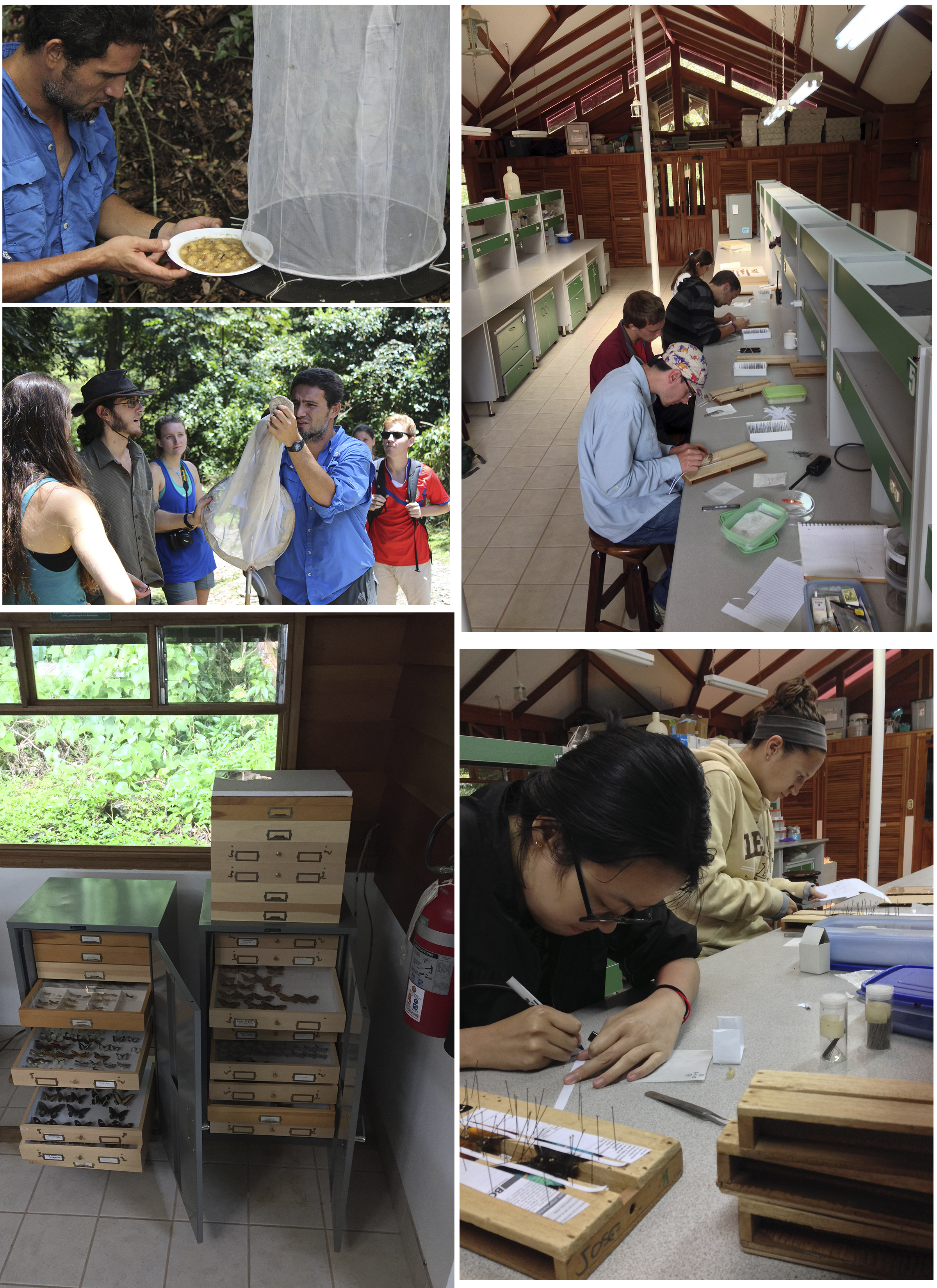 Collecting, mounting, labeling and managing butterfly specimens.