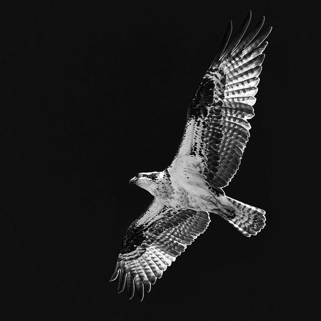Osprey #osprey #bird #birdsofprey #birdsofinstagram #flight #flying #air #birdseyeview #wildlife #nature #sky #dark #darksky #blackandwhite #bw #bwphotography #blackandwhitephoto #monochromatic #outdoors #wild #discover #explore #lookup #colorado #animal #creature #birds #birdlife #bird