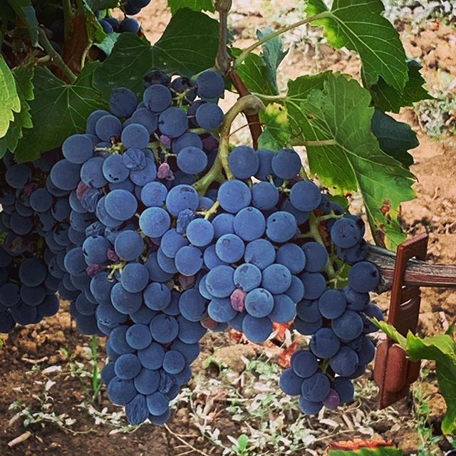 It's harvest time in the South of 🇫🇷 France - say hello to the grapes of the future 2019 vintage from the appellation minervois #minervois #redwine #winetravel #winetraveller #winetasting #lovewine #sonomacounty #welovetotravel