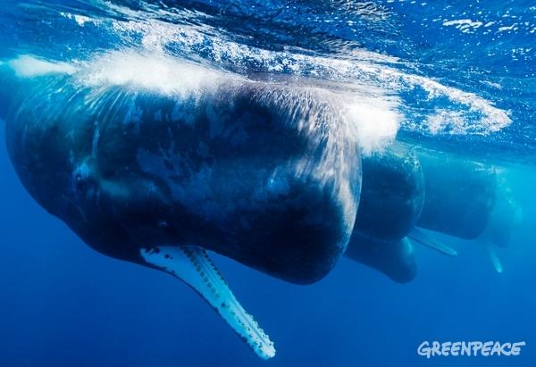 Sperm whales off the coast of Sri Lanka