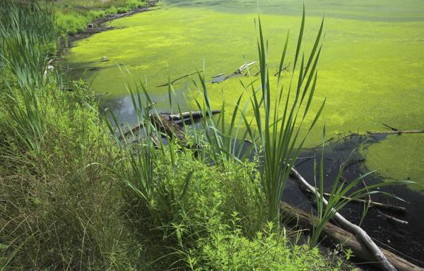 A eutrophic lake, covered in algae © Creative Commons