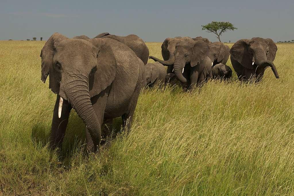Elephants in the Masai Mara Savanna, Kenya, Africa. © Markus Mauthe / Greenpeace