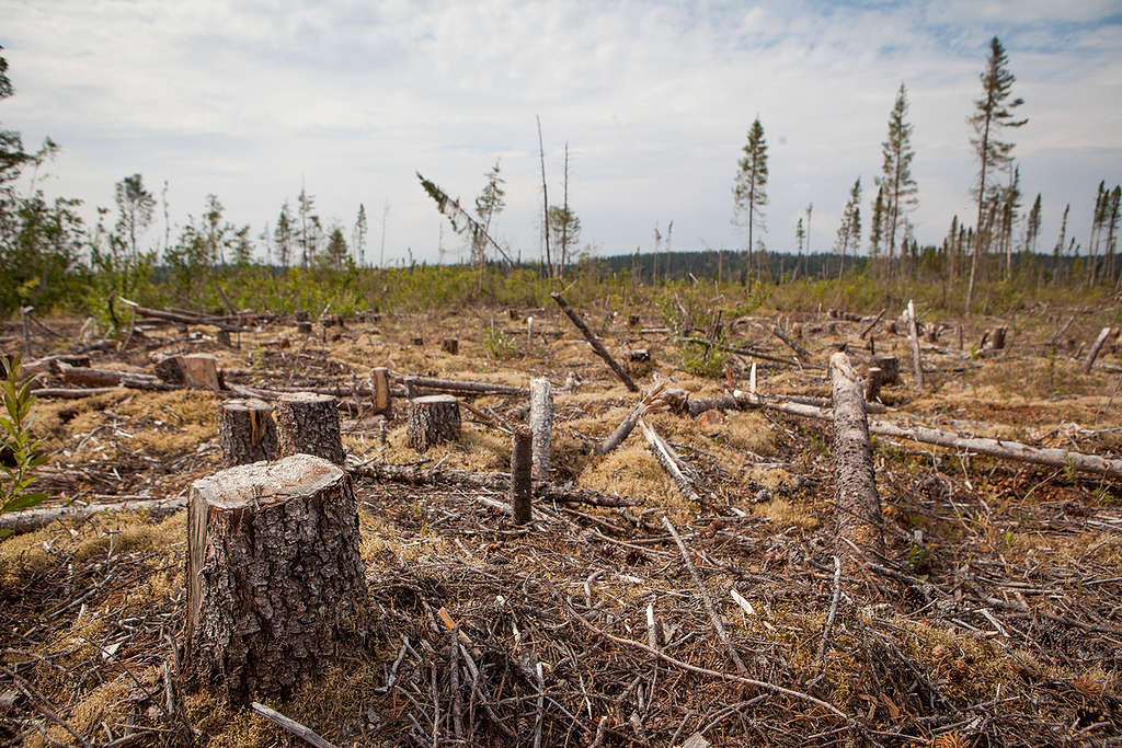 Clearcut affected forest in Cree territory, Northern Quebec © Greenpeace