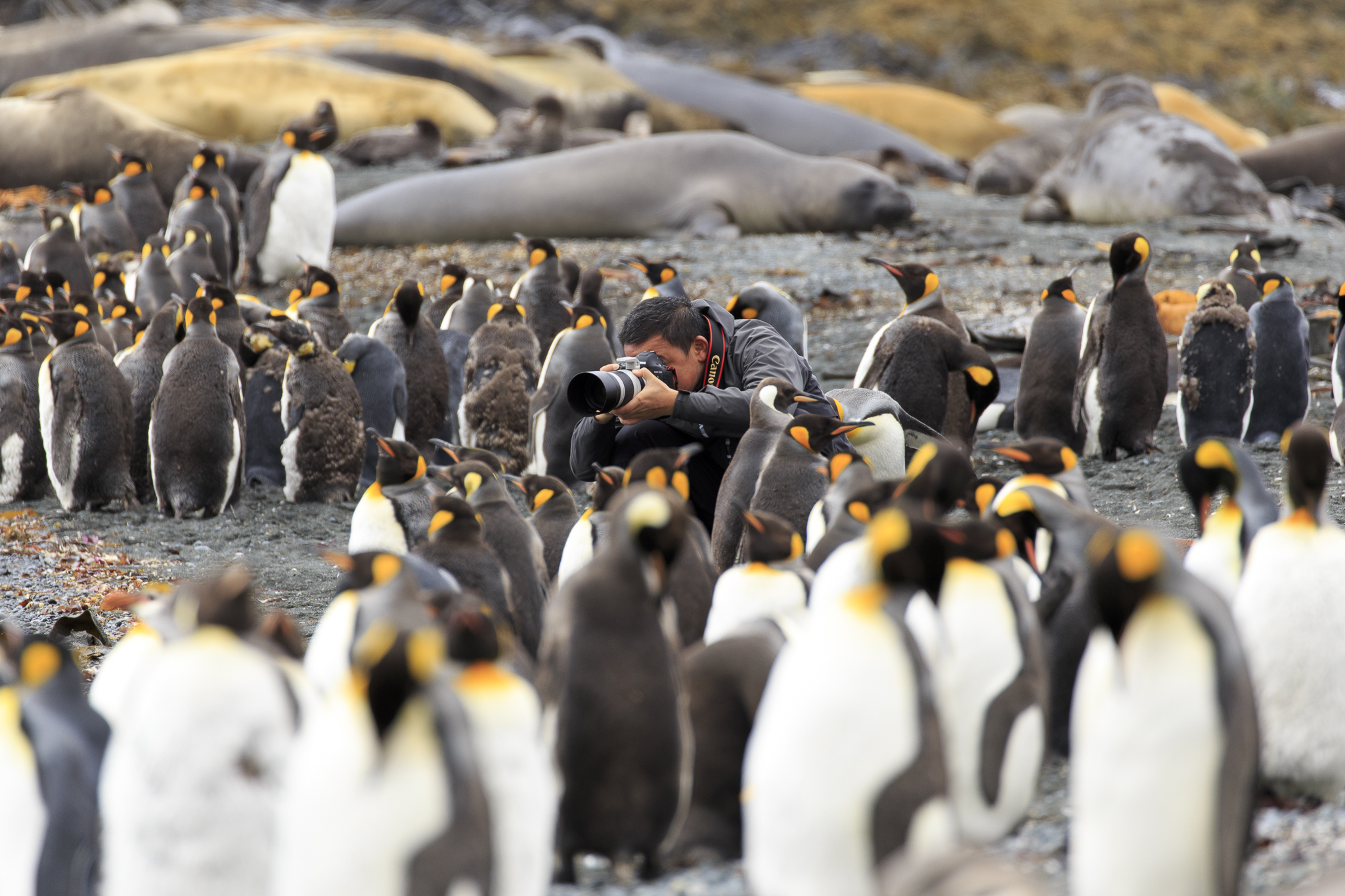 Atsushi among the King Penguins