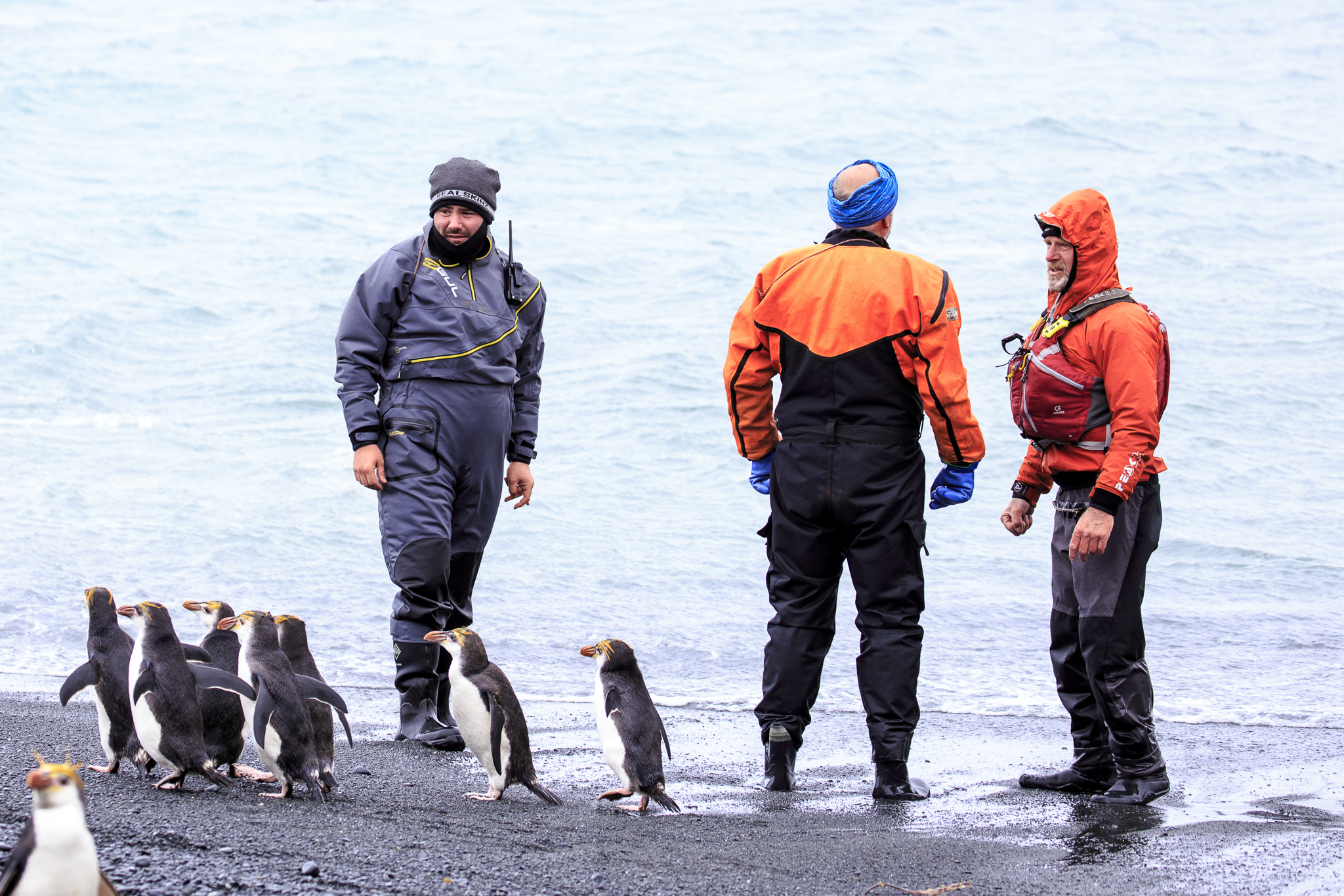 Royal Penguins waddling past the Heritage Expedition crew