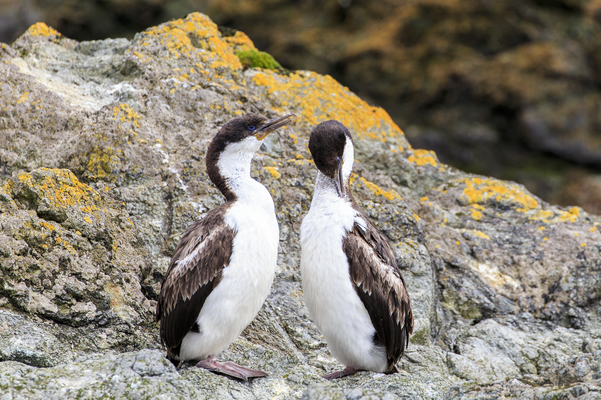 Macquarie Island Shag