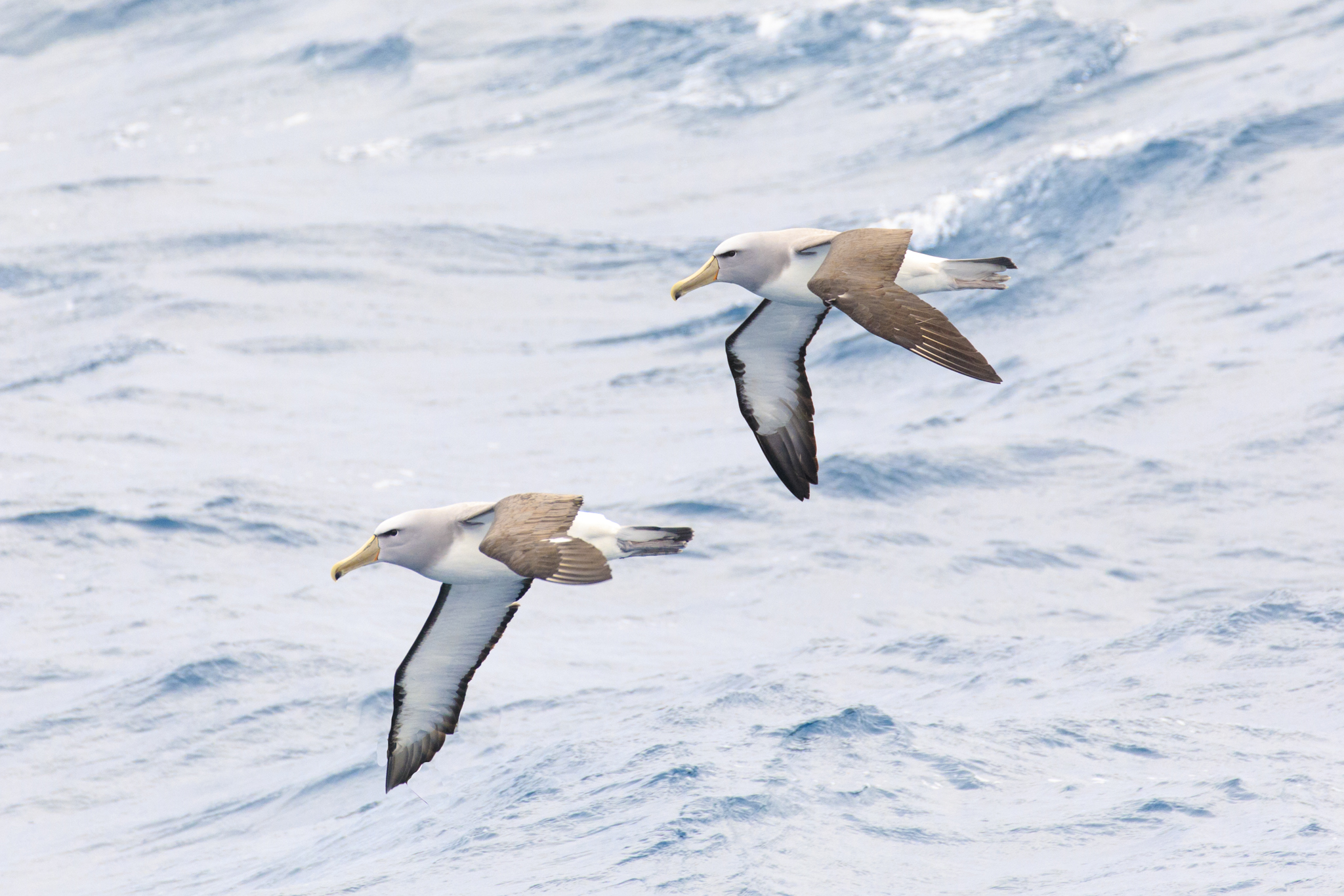 Double trouble - Salvins Albatross