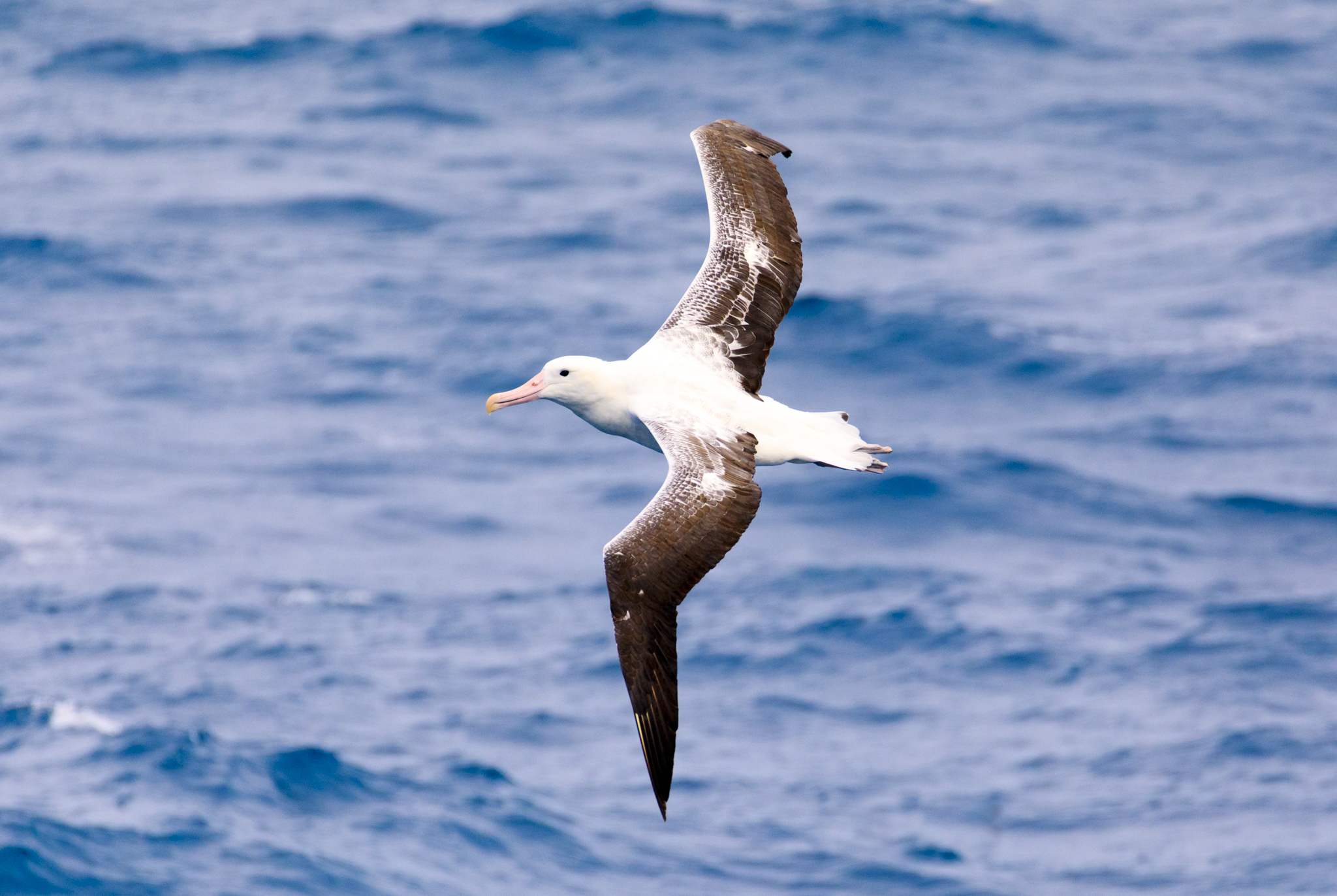 Royal Albatross (Southern I think, but could be wrong)