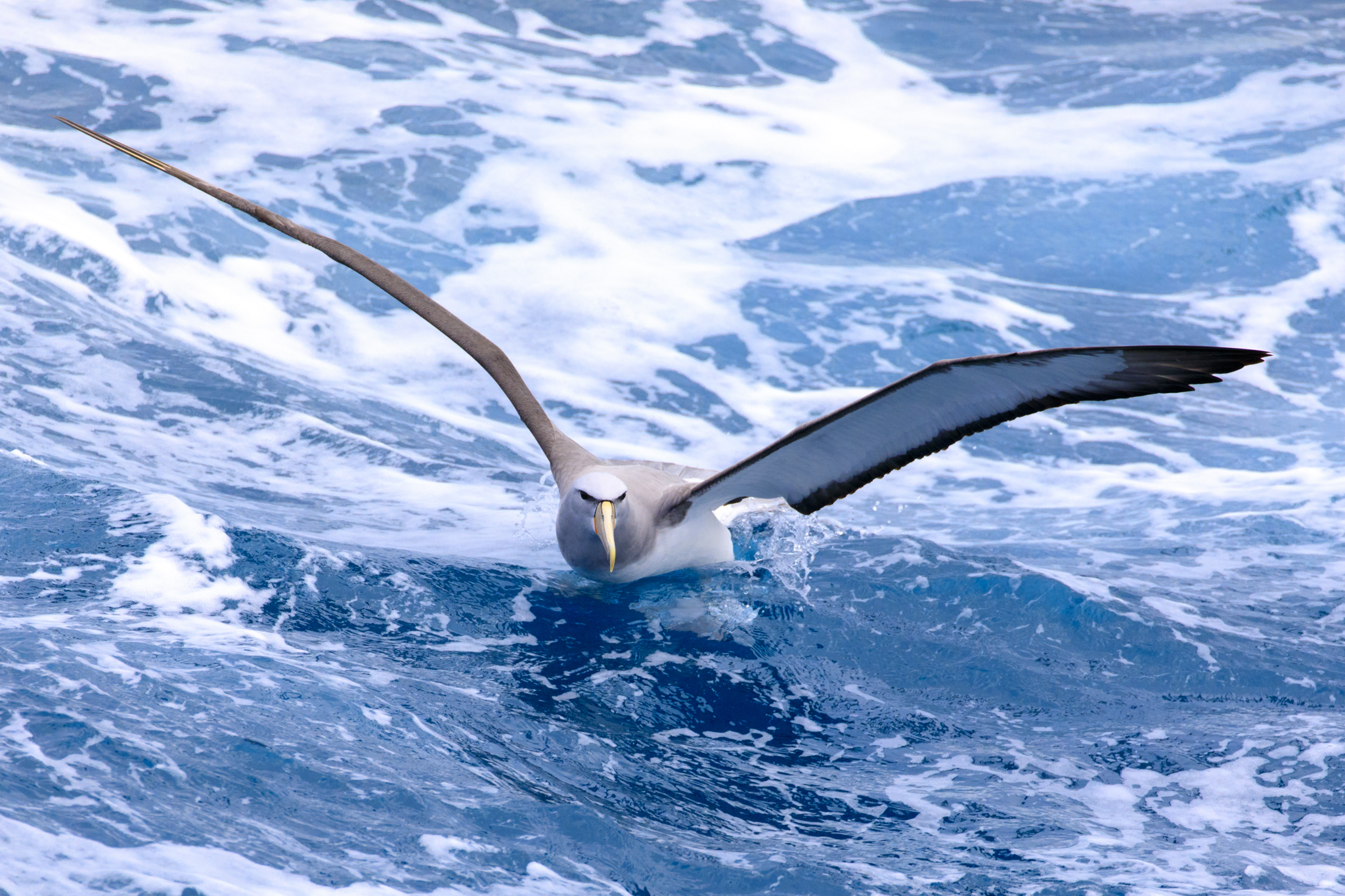 Salvins Albatross