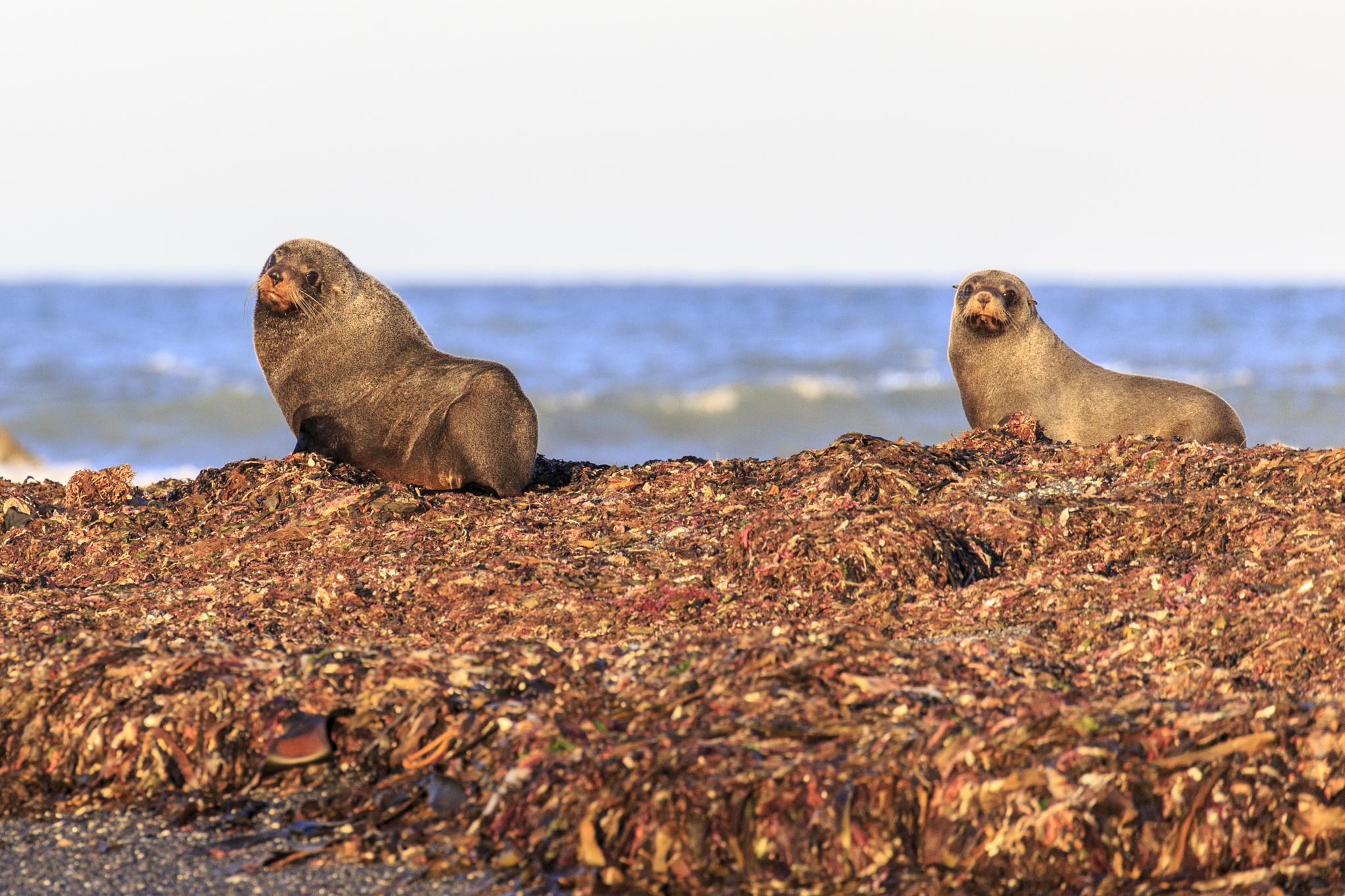 NZ Fur Seal.