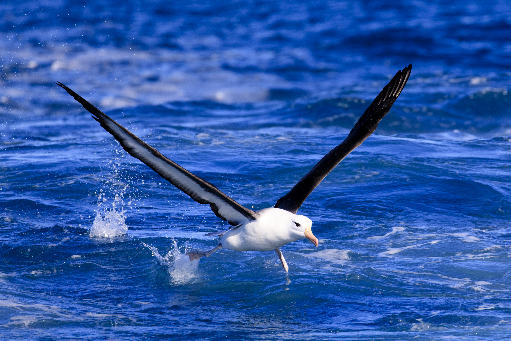 Rushing to book my space (Or a Black-Browed Albatross chasing the boat)