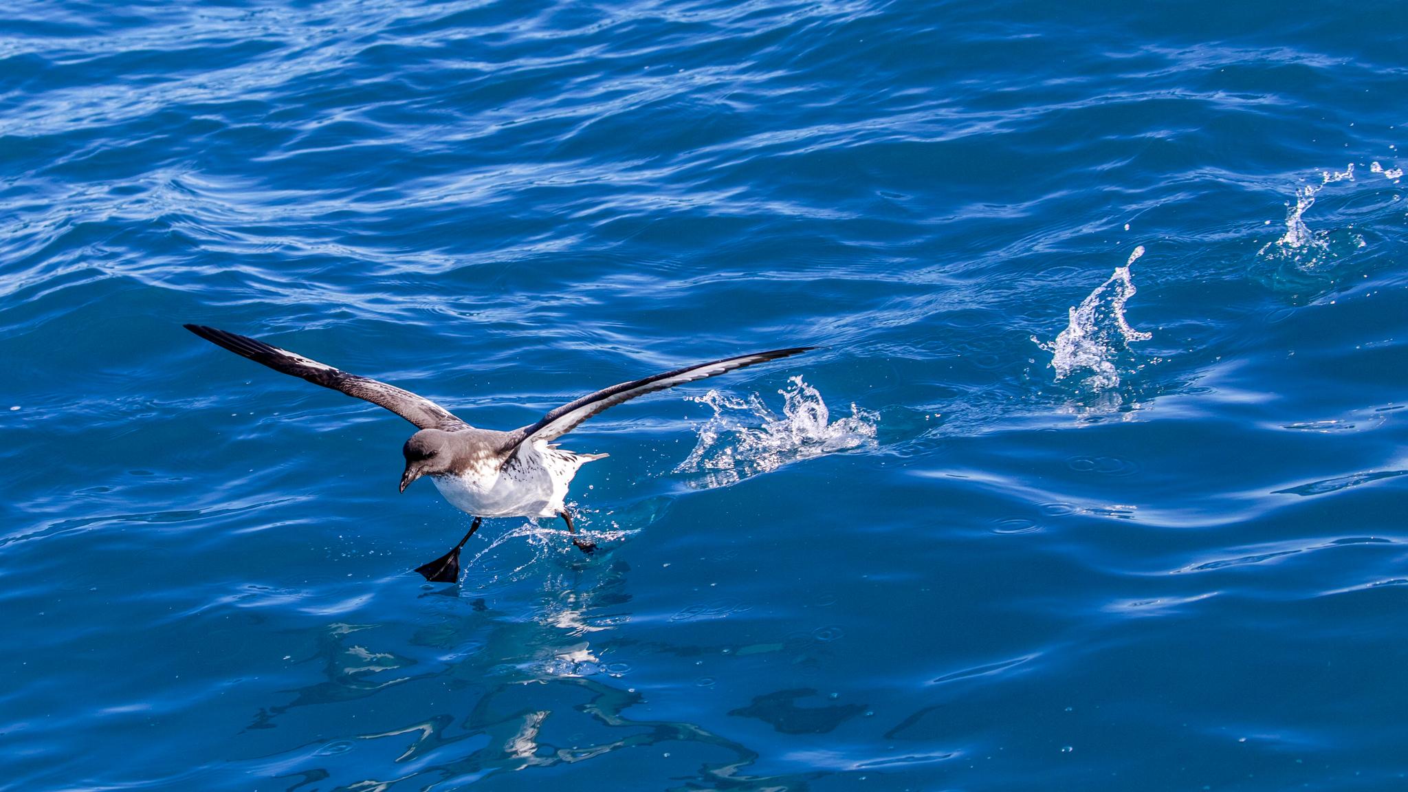 One of my first usable Cape Petrel (Pintado) photos.