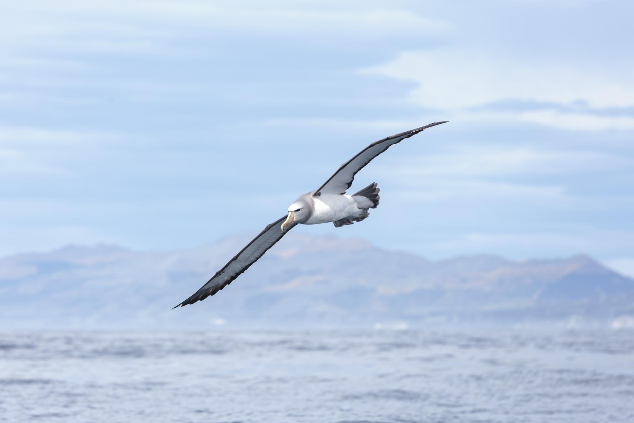 Salvin's Albatross in Nov 2015