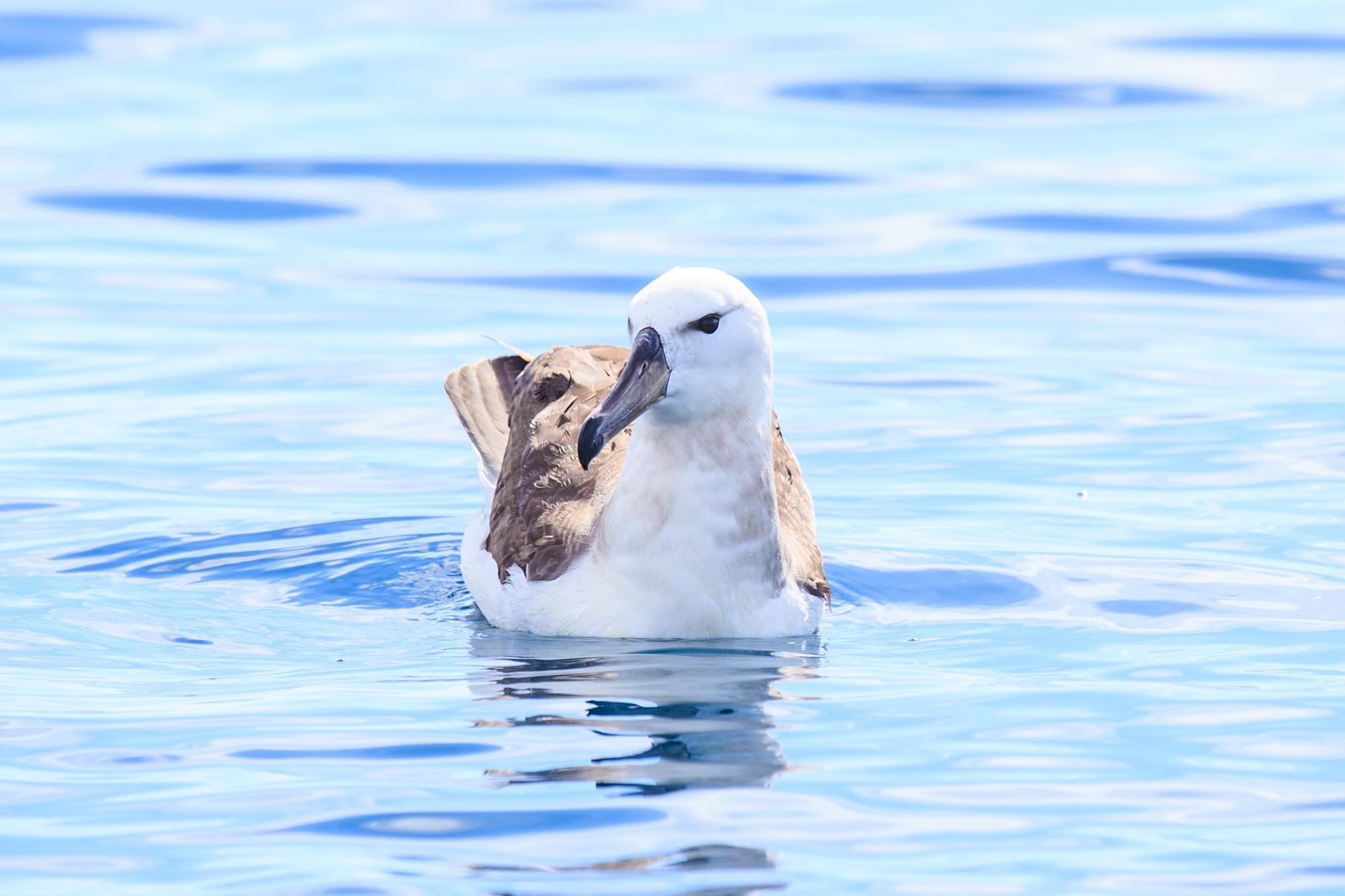 Juvenile Black-Browed Albatross