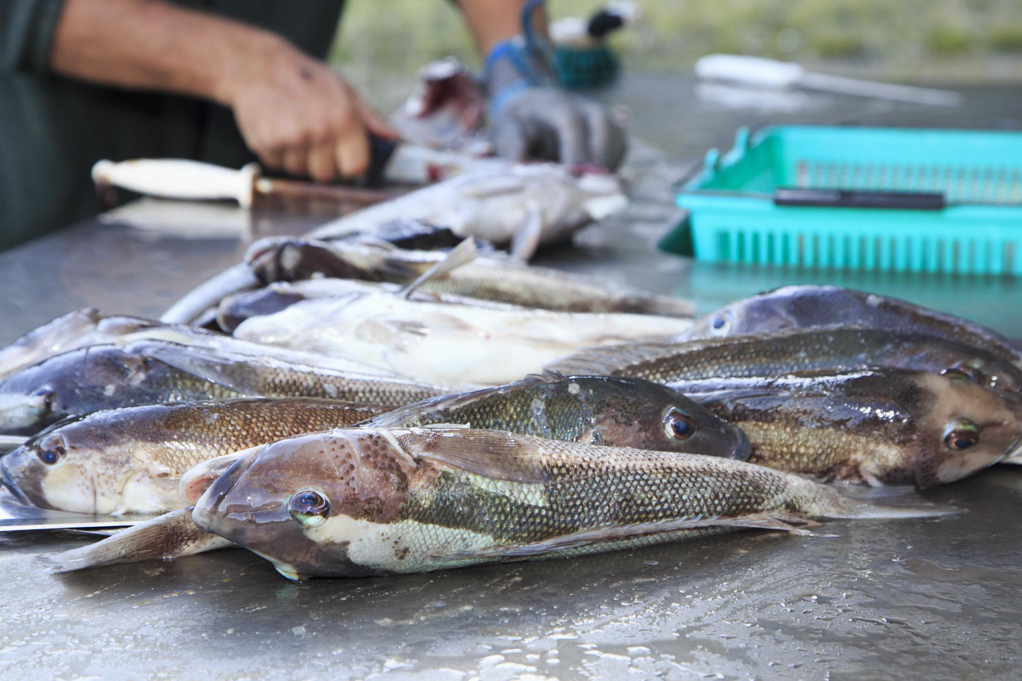 Fresh Blue Cod for dinner