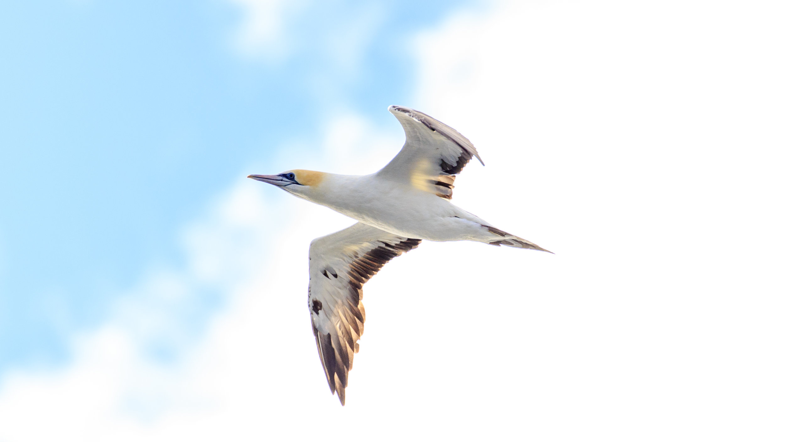Australasian Gannet - Just one of the local bird species