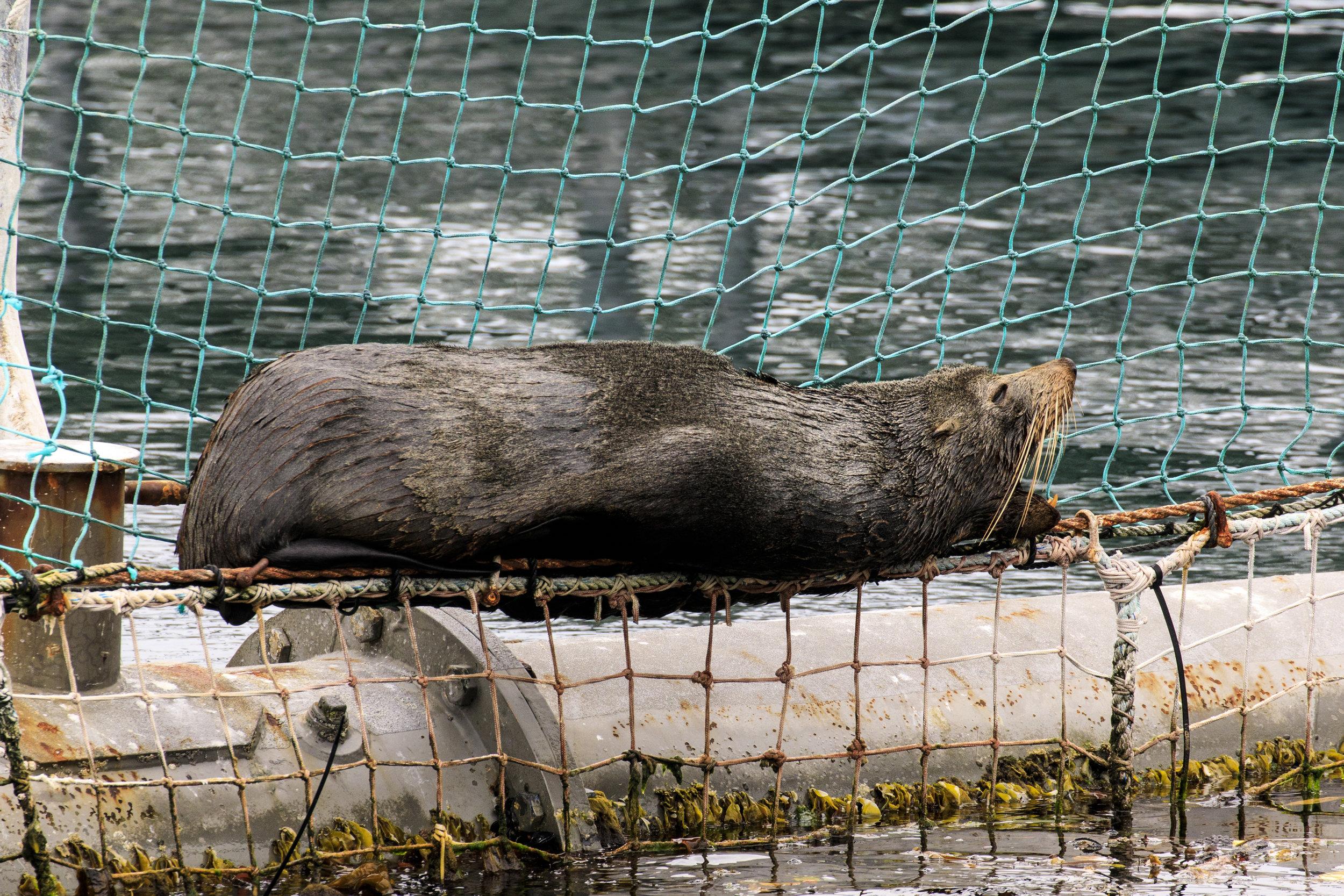 A cheeky NZ Fur Seal