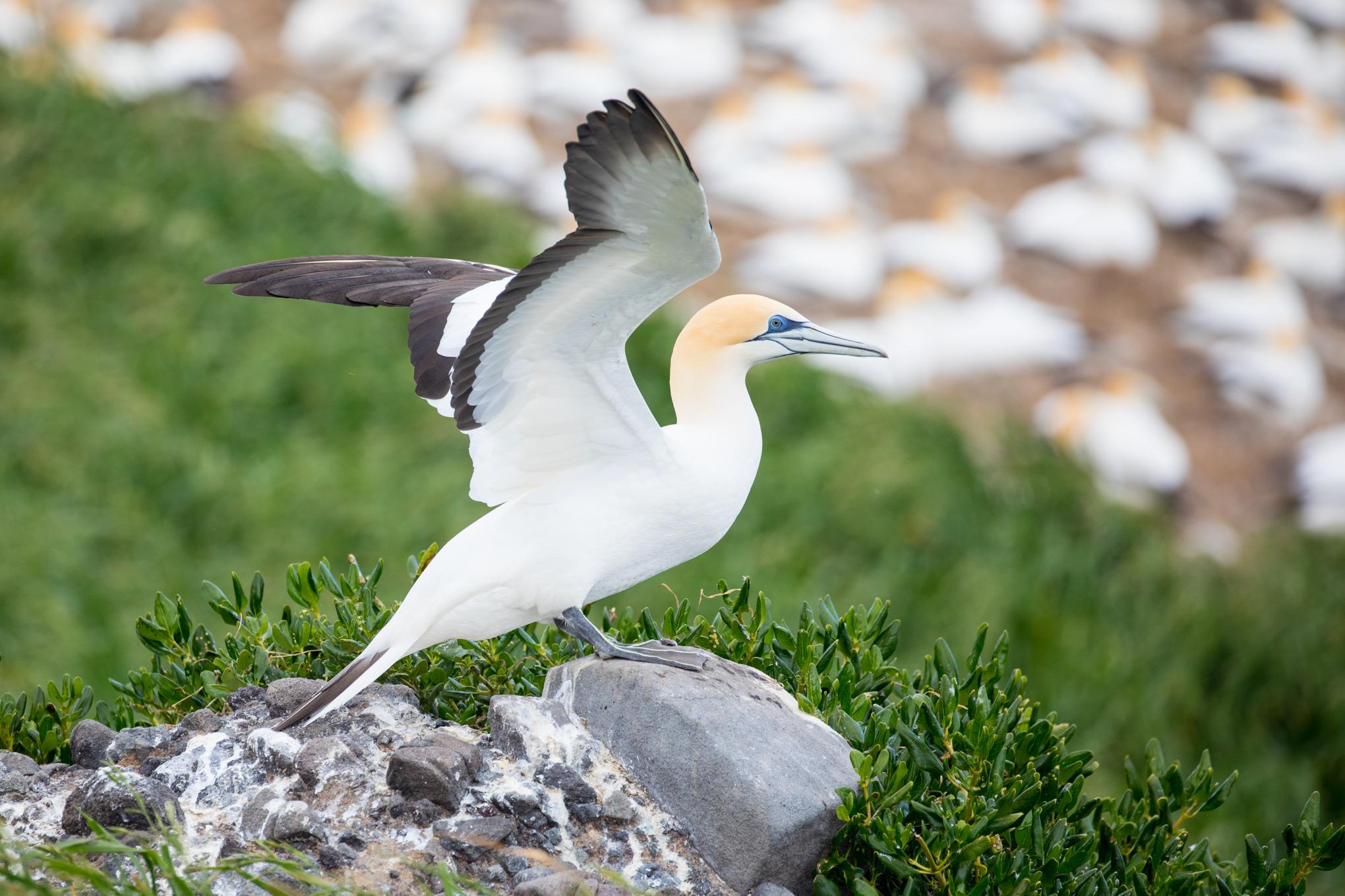 Gannet Colony near Great Barrier Island