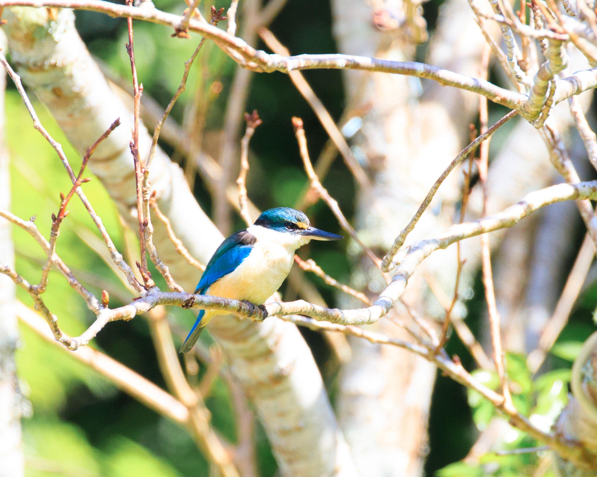 Kingfisher (which were abundant on the island)